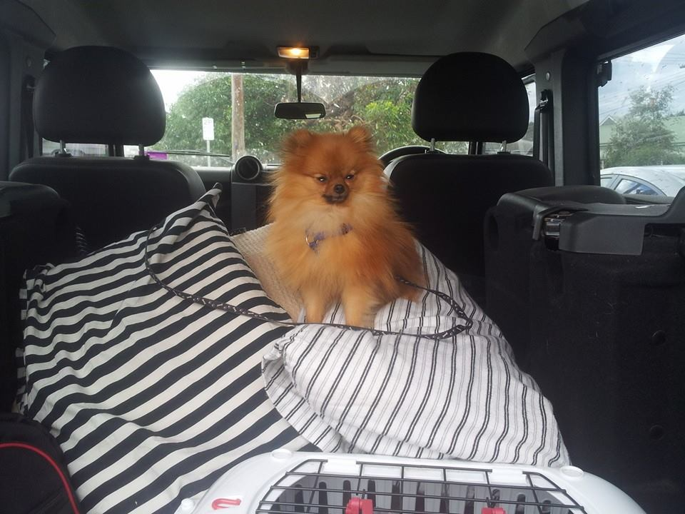 My Pomeranian dog on a Blue Mountains camping trip